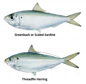 greenback-treadfin1-300x293 copy